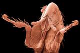 Rabbit Flea, SEM Photographic Print by Steve Gschmeissner