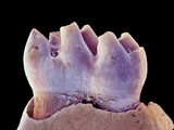 Mouse Tooth, SEM Print by Steve Gschmeissner