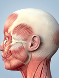 Muscular System of the Head Poster by Roger Harris