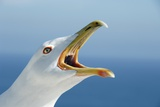 Herring Gull Photographic Print by Chris Hellier
