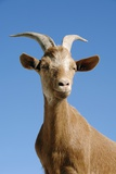 Goat Photographic Print by Chris Hellier