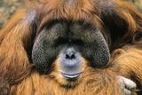Bornean Orangutan Photographic Print by Chris Hellier