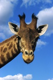 Giraffe Photographic Print by Chris Hellier