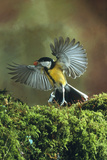 Great Tit In Flight Photographic Print by Andy Harmer