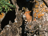 Hoopoe Photographic Print by Andy Harmer