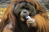 Bornean Orangutan with a Soft Drink Can Prints by Chris Hellier