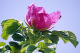 Rosa Rugosa Flower Photographic Print by Dr. Nick Kurzenko