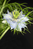 Love In the Mist Flower (Nigella Sp.) Photo by Lawrence Lawry