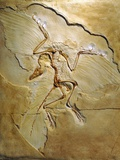 Archaeopteryx Fossil, Berlin Specimen Photographic Print by Chris Hellier