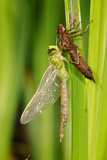 Emperor Dragonfly Metamorphosis Photographic Print by Andy Harmer