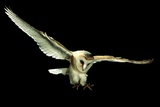 Barn Owl Photographic Print by Andy Harmer