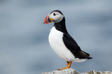 Atlantic Puffin Photographic Print by Andy Harmer