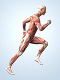 Sistema muscular Lámina fotográfica por Roger Harris