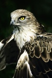 Short-toed Eagle Poster by Chris Hellier