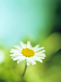 Daisy Flower Photo by Lawrence Lawry