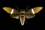Tosena Cicada Poster by Lawrence Lawry