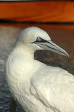 Northern Gannet Photographic Print by Chris Hellier