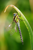 Hairy Hawker Dragonfly Photographic Print by Andy Harmer