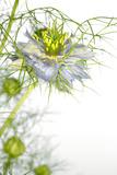 Love In the Mist Flower (Nigella Sp.) Prints by Lawrence Lawry