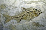 Fish Fossil Photographic Print by Chris Hellier