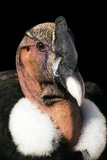 Andean Condor Photographic Print by Chris Hellier