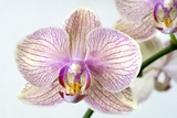 Phalaenopsis Orchid (Phalaenopsis Sp.) Photographic Print by Lawrence Lawry