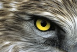 Short-toed Eagle Eye Photographic Print by Chris Hellier