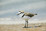 Kentish Plover Photographic Print by Andy Harmer
