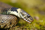 Grass Snake Photographic Print by Andy Harmer
