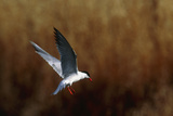 Common Tern Flying Photographic Print by Andy Harmer