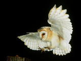 Barn Owl Premium Photographic Print by Andy Harmer