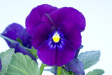 Purple Pansy (Viola Sp.) Poster by Lawrence Lawry