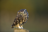 Little Owl Fotoprint van Andy Harmer