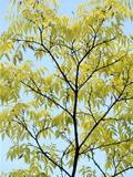 Amur Corktree (Phellodendron Amurense) Photographic Print by Dr. Nick Kurzenko
