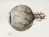 Eye Anatomy, 1844 Artwork Posters by Science Photo Library