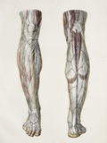 Nerves of the Lower Leg, 1844 Artwork Photographic Print by Science Photo Library
