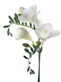 Freesia (Freesia Sp) Premium Photographic Print by Gavin Kingcome
