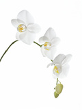 Orchid Flowers (family Orchidaceae) Photographic Print by Gavin Kingcome