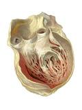 Heart Anatomy, Artwork Photographic Print by Mehau Kulyk