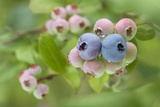 Blueberries (Vaccinium Sp.) Photographic Print by Lawrence Lawry