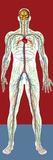 Circulatory System, Artwork Prints by Mehau Kulyk