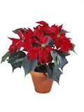 Poinsettia Plant Photographic Print by Lawrence Lawry