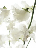 Sweet Pea (Lathyrus Odoratus) Photographic Print by Gavin Kingcome