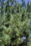 Korean Pine (Pinus Koraiensis) Photographic Print by Dr. Nick Kurzenko