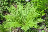 Shield Fern (Dryopteris Crassirhisoma) Photographic Print by Dr. Nick Kurzenko
