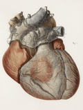 Heart Anatomy, 19th Century Illustration Premium Photographic Print by Science Photo Library