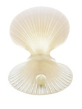 Scallop Shell And Pearl Photographic Print by Gavin Kingcome