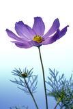 Cosmos Flower (Cosmos Sp.) Photographic Print by Lawrence Lawry