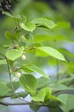 Chinese Schisandra (Schisandra Chinensis) Photographic Print by Dr. Nick Kurzenko