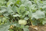 Kohlrabi Crop Photographic Print by Lawrence Lawry